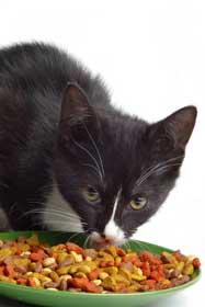 Tuxedo cat eating