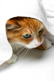 Profile of orange domestic shorthair cat under towel