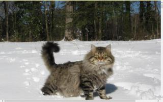 Regal Siberian Cattery