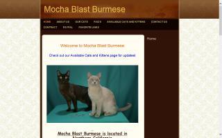 Mocha Blast Burmese