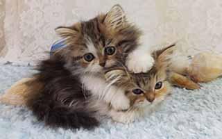 Tiny Lions Napoleons